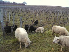 Moutons au Château du Pas Saint Georges