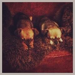 Tytöt & uusi nojatuoli (NiinaKesämaa) Tags: dog pet pets chihuahua dogs square mix helmi squareformat olga rise mixedbreed griffon brusselsgriffon russiantoyterrier russiantoy petitbrabancon iphoneography instagramapp uploaded:by=instagram