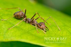 Ant (Formicidae) - DSC_6060 (nickybay) Tags: macro ant malaysia johor formicidae endaurompinnationalpark