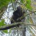 Scimmia urlatrice (qui chiamata Congo)