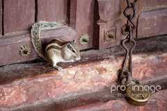 7B1C3199 (Proimagestock) Tags: india colors animal small tradition squirel