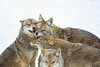 Disagreement (Perry McKenna) Tags: coyote male big teeth pack alpha coyotes mentality