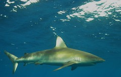 Galapagos Shark, North Shore, HI (clear_eyed_man) Tags: hawaii shark