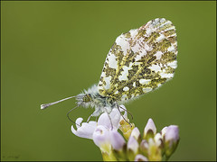 Orange Tip (Grasping-air) Tags:
