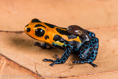 Ranitomeya imitator (John P Clare) Tags: blue orange peru colorful father transport mother amphibian frog breeding mating colourful poison care varadero dart tadpole veradero parentalcare ranitomeyaimitator mimicpoisonfrog imitatingpoisonfrog imitatingdartfrog mimicdartfrog