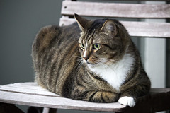 Hunter (DFChurch) Tags: pet cat chair feline tabby stare hunter