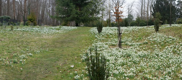 Snow Drops at Kingston Lacy