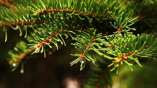 HD Wallpaper pine