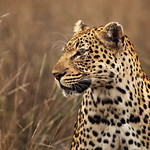 Big Cat of the Kruger