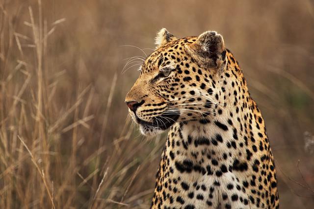 Big Cat of the Kruger
