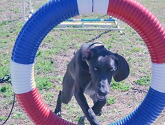 "Covey 02.24.13 agility • <a style=""font-size:0.8em;"" href=""http://www.flickr.com/photos/66999112@N00/8532496843/"" target=""_blank"">View on Flickr</a>"