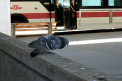 203. A long way down (enfys photography) Tags: toronto bird station canon subway pigeon ttc broadview day203 t3i 365project