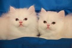 Cat9661 (73) (Cat9661) Tags: animals cat حيوانات مون قطط هاف بسة فيس شيرازي بيكي بساس هملايا