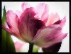 Very Pink (christilou1) Tags: flower macro 50mm high key olympus tulip bloom zuiko blown em5