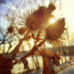 Prickly Burdock Sunbeams (BenRogersWPG) Tags: winter wild sun plant abstract nature silhouette leaf aperture exposure winnipeg surrealism seed surreal samsung seeds note galaxy lensflare burdockroot flare overexposed burdock backlit prickly sunbeam android starburst sunbeams washedout burrs sunflare prickles prickle taproot arctium instagram samsunggalaxynote pricklyburdocksunbeams