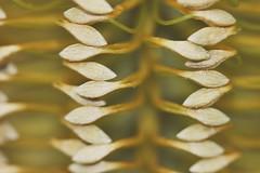 Banksia spinulosa (andreas lambrianides) Tags: macro australian banksia wildflower australiannativeplant proteaceae australianflora banksiaspinulosa hairpinbanksia