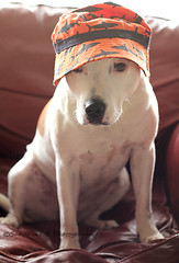 52 Hats (Sandrine Burke) Tags: dogs hats staffies