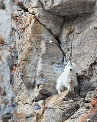 Mountain Goat on Cliff (Daryl L. Hunter - The Hole Picture) Tags: usa unitedstates alpine shaggy wyoming jacksonhole mountaineer verticalworld snakeriverrange mountaingoatonacliff