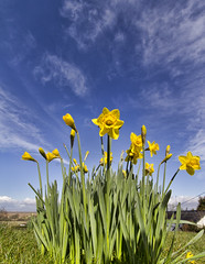 Spring sky (Alchimi) Tags: blue sky cloud flower yellow wales spring daffodil gower