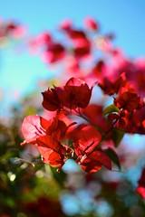 bougainvillea (Holdenhays) Tags: pink arizona sun flower green nature phoenix 35mm nikon bougainvillea transparent uploaded:by=flickrmobile flickriosapp:filter=nofilter