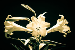 Lily and Light