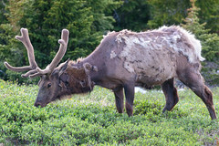 Molting Deer (Alex E. Proimos) Tags: molting deer eating antlers