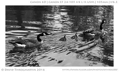2016_05_07_15867_LR_upd_16x9_BW_SILVER (dthrog00) Tags: 6d 24105l andersonjapanesegardens rockford illinois goose silverefex blackandwhite