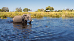 Elephant crossing (loveexploring) Tags: africa africanelephant botswana moremigamereserve okavangodelta animal elephant marsh outdoors reed river water wildlife moremi northwest bw
