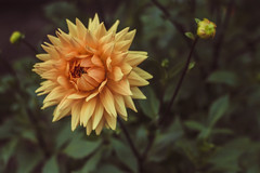 yellow dahlia (WillemijnB) Tags: dahlia flowers fleurs bloemen dof yellow geel gelb jaune outdoor natuur natur nature knoppen bouton buds bokeh depthoffield