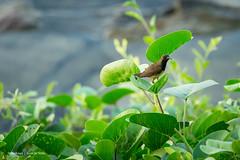 Olive-backed sunbird (Cinnyris jugularis) (Otterhaus) Tags: singapore wildbird sunbird