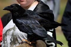 IMG_7493 (smiscandlon) Tags: indigo raven corvid bird talonted feathers arbeia roman fort museum combat craft event historical falconry animal portrait black colour rob davis falconer