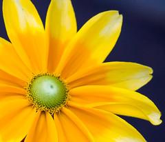 Rudbeckia Prairie Sun (Pauline Brock) Tags: flower macro nature floral yellow yellowflower daisy coneflower rudbeckia yellowdaisy yellowrudbeckia