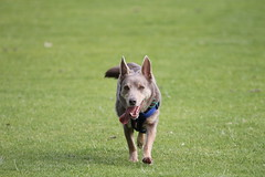 incoming (ClareSnow) Tags: dog kelpie cider lakegwelup lakegwelupreserve perth australia winter running action