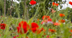 Bugs Eye View (teamyam) Tags: plant flower flowers outdoor flowerbed landscape depthoffield field meadow people poppies colour trenthamgardens flora minilandscape