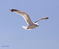 Herring Gull on Blue Sky (John R Woodward Photography) Tags: herringgull gull herring bluesky blue sky birds sea birdcanoncanon dslrcanon l lensescanon 6dcanon 6d with eosl lensesjrwjohn r woodward photography