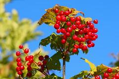 knyabangita / guelder rose (debreczeniemoke) Tags: nyr summer rt meadow nvny plant terms fruit knyabangita guelderrose viorneobier gewhnlicheschneeball gemeinerschneeball herzbeer blutbeer palladineve clin viburnumopulus pzsmaboglrflk adoxaceae olympusem5