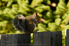 Squirrel! 3 (Kenjis9965) Tags: squirrel canon eos 7d sigma 150600 f563 c contemporary fence sitting tomato eating snacking hiding rubbing face being cute animal mammal 150600mmf563dgoshsm|c
