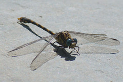 Dragonfly, Poo da Broca, Serra da Estrela (Carlos Pinto 73) Tags: poo broca serra estrela dragonfly