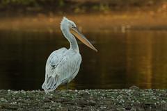 Krauskopfpelikan (Pelecanus crispus) (Dennis -[:.:]-) Tags: krauskopfpelikan vgel pelecanus crispus dalmatian pelican