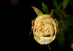 Deepness (gabi_halla) Tags: blackbackground flower rose white whiterose plant dof bloom blooming blossom garden dark light lights summer rainy macro macros macrophotography deep deepness sheets layers flora august nature