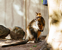 Wallaby (VirtualWolf) Tags: animal australia bokeh canonef135mmf2lusm canoneos7d equipment marsupial mosman newsouthwales places sydney tarongazoo techniques wallaby wildlife