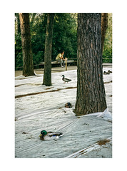 Gulbenkian, Lisboa (Sr. Cordeiro) Tags: gulbenkian lisboa lisbon portugal jardim park patos ducks proteco protection plstico plastic rvores trees troncos trunks nikon v1 nikkor 11275mm