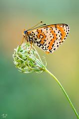 Melitaea in posa #2 (mauro.cagna) Tags: ngc nikon sigma macro melitaea farfalle parco del serio fiume alba mozzanica