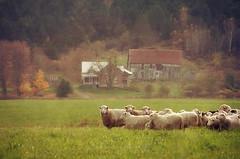 Together (Jocelyne Deneau) Tags: sheep moutons autumn automne barns granges beauce herd troupeau farm ferme field champ countryside campagne landscapes animals animaux