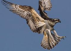 Osprey in style (Robert Ron Grove 2) Tags: osprey flight wildlife robertgrove bird natural nature free raptor