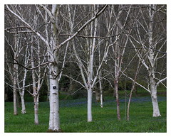 Birch trees and bluebells (ric) Tags: birch bluebell wakehurstplace imagedatadmcg11160f10100 uploadscript imagemagick im:opts=level510008crop3680x291500 photo:id=p1090212jpg