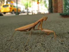 Street Seen (Keith Michael NYC (2 Million+ Views)) Tags: prayingmantis westvillage manhattan newyorkcity newyork ny nyc