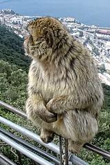 Admiring the View (OSChris) Tags: gibraltar barbarymacaque ape