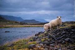 Epic Sheeps in Epic Landscape (Andrea_Lazzarato) Tags: travelling journey italians icelandic flickr pecora sheep islanda esplorare viaggio viaggiare canon canoneos eos6d 6d august