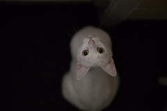 Let me out please. (Fardo.D) Tags: timon white cat face eyes pink ears